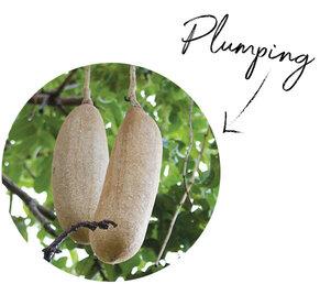 Kigelia Fruit Extract