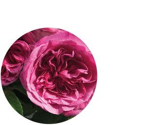 Damask Rose Flower Oil